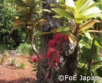 Amiena scanden, ニューカレドニアの固有種。ニッケル採掘地近くにて撮影。